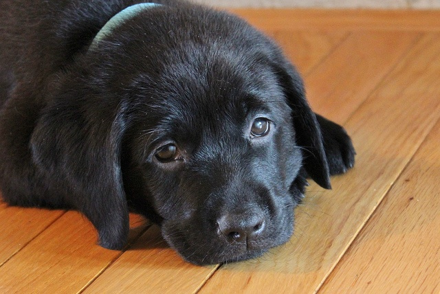 pet scratches on hardwood floors